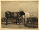 Image of Two Cows
